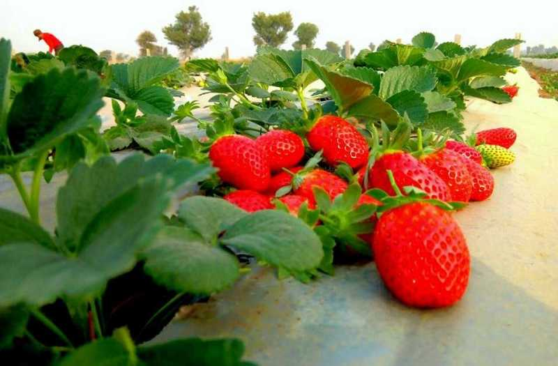 Cultivation of strawberries