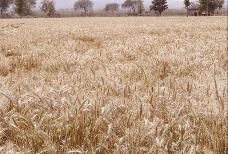 Wheat Seed Subsidy Policy